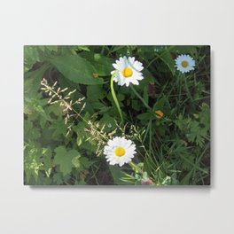 Common Daisy Metal Print