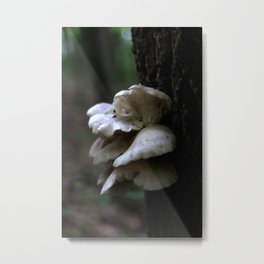 Small Oyster Mushrooms Metal Print