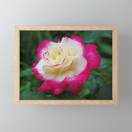 Double Delight Rose - Red and cream beauty Framed Mini Art Print