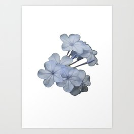 Pale Blue Plumbago Isolated on White Background  Art Print