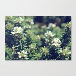 South Head Flowers Canvas Print
