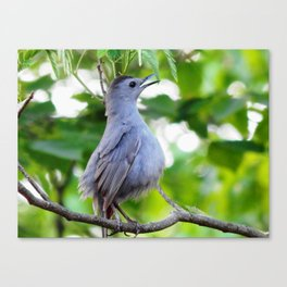 Joyful catbird Canvas Print