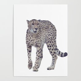 Digital painting of cheetah isolated on white background Poster