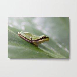 Mediterranean Tree Frog 1095 Metal Print