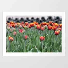 Canons & Tulips Art Print