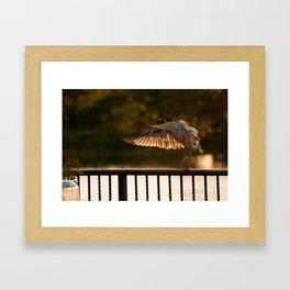 Sundown Ibis Framed Art Print