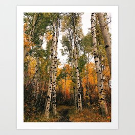 Aspen Forest in Autumn Art Print