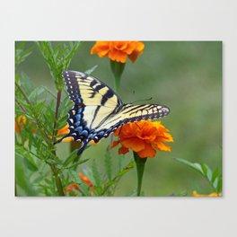 Yellow female Eastern Tiger Swallowtail  Canvas Print