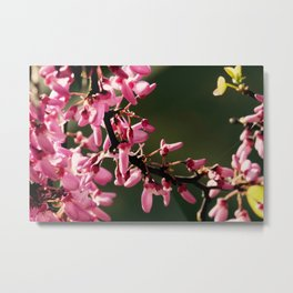 Cercis canadensis 'Forest Pansy' Metal Print