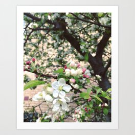 Crab-Apple Blossom Art Print