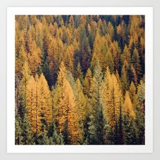 Autumn Tamarack Pine Trees Art Print
