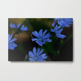 Eyes as blue as chicory blooms Metal Print