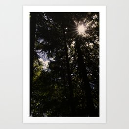 North Shore Cedars Art Print