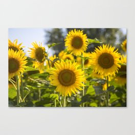 Sunflowers happiness Canvas Print