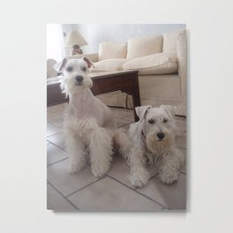 Two white schnauzers Metal Print
