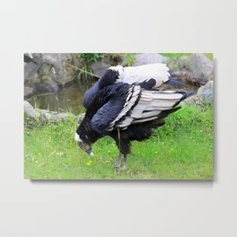 Female Andean Condor Metal Print