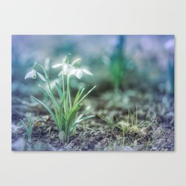 springtime - snowdrops in the garden Canvas Print