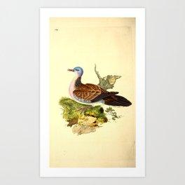 Spotted neck Turtle Dove of Buckinghamshire albinotata turtur4 Art Print
