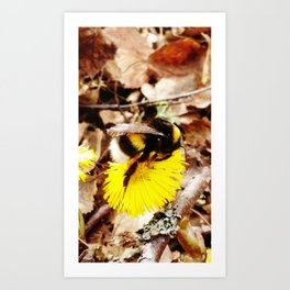 Bumble-bee on coltsfoot flower Art Print