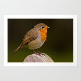 Robin (Erithacus rubecula) Art Print