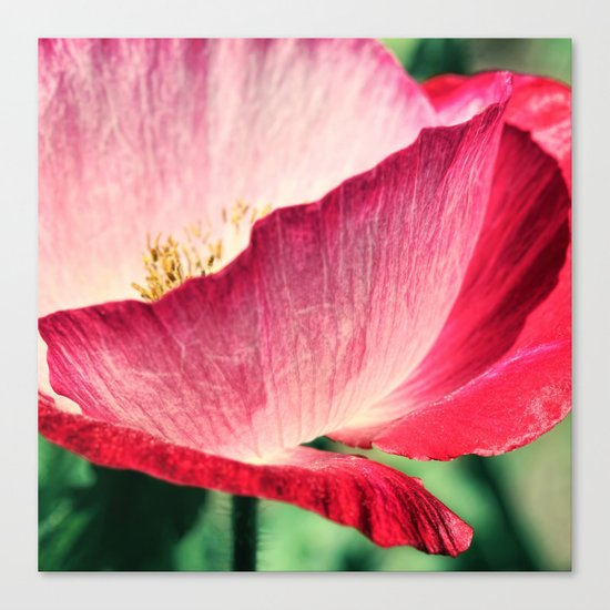 Red Poppy in Sunlight Canvas Print