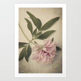 Scents of Spring - Pink Peony ii Art Print