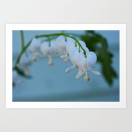 White Bleeding Hearts Art Print