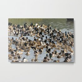 Lots of Ducks Swimming in a Pond in India Metal Print