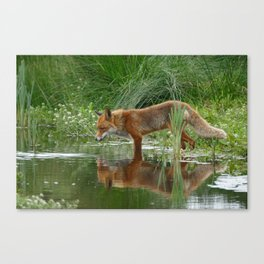 Fox Reflected in Pond Canvas Print