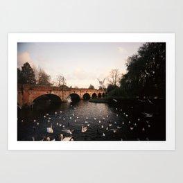 Swans #2 Art Print