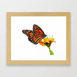 Monarch Butterfly on Zinnia Flower Framed Art Print