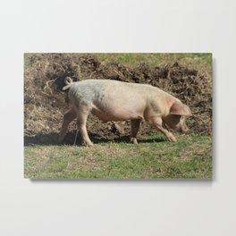 Pig Walking in a Pasture Metal Print