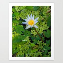 Beautiful Nymphaea Nouchali Lily Pad Flower is Blooming Art Print