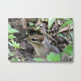 Cute Little Chipmunk in the Forest Metal Print