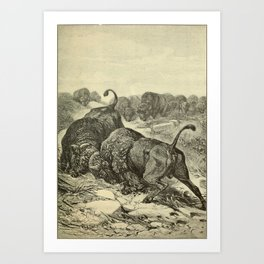 Vintage Print - Animals in Action (1901) - Fighting Buffaloes Art Print