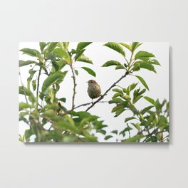 Wren Songbird Bird on a Branch (Troglodytes) Metal Print