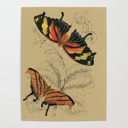 Scientific Antique Butterflies Entomology Drawing Poster