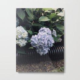 Hydrangeas & Hose Metal Print