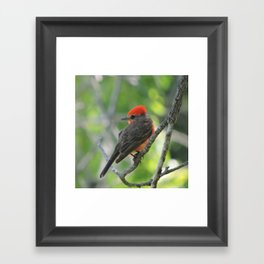 Vermilion Flycatcher Framed Art Print