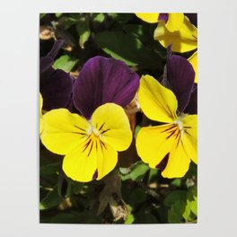 The Pansies at the Corner Poster