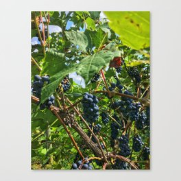Concords in the Vineyard! Canvas Print