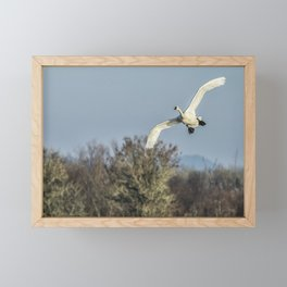 Tundra Swan Flying Framed Mini Art Print