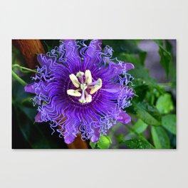 Pasion Fruit -Purple Flower Canvas Print