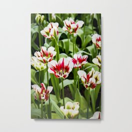 White and Red Candy Cane Stripe Tulips in Amsterdam, Netherlands Metal Print