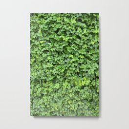 Spring, fresh leaves cover the wall Metal Print