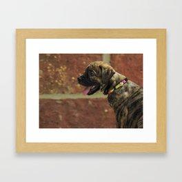 Bulldog x bull mastiff pup Framed Art Print