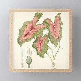 Caladium bicolor Framed Mini Art Print