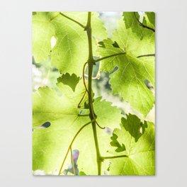 At the vineyard Canvas Print
