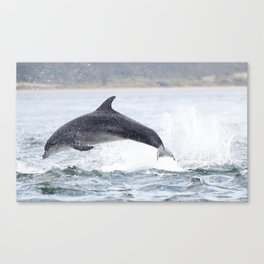 Jumping (breaching) Wild bottlenose dolphin tursiops truncatus. Canvas Print
