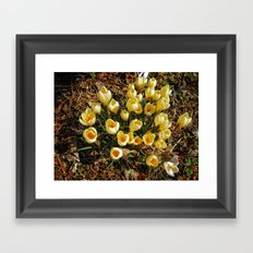 Yellow Croci Welcoming the Day Framed Art Print